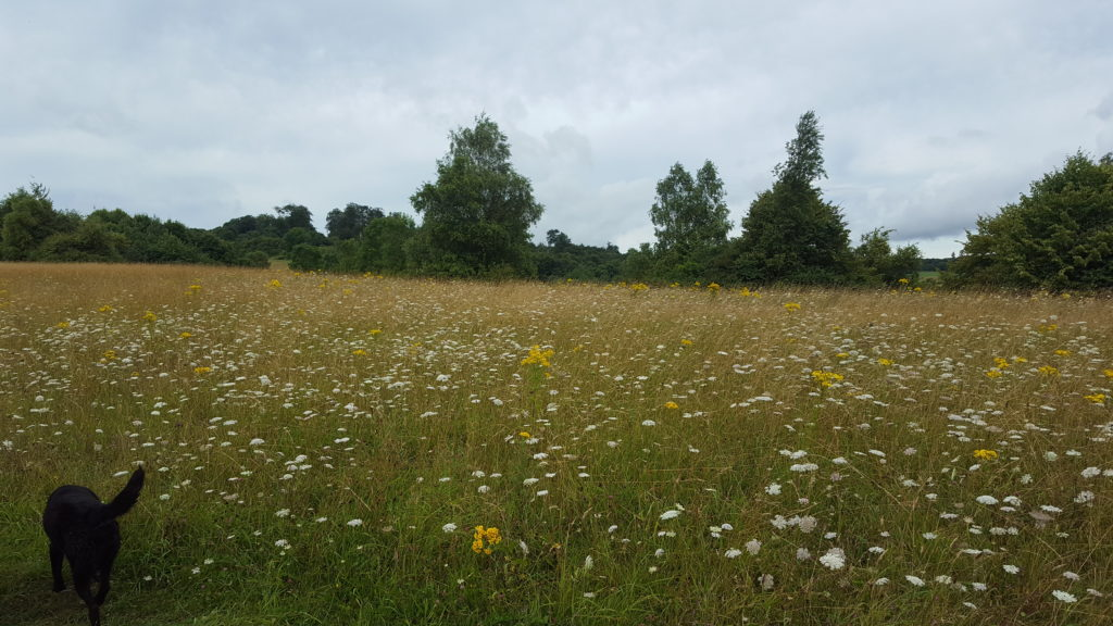 Wild Flowers at Lullingstone Country Park Kent